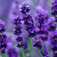 French Cade Lavender - Fragrance Oil
