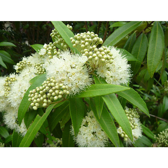 Lemon Scented Myrtle - Fragrance Oil