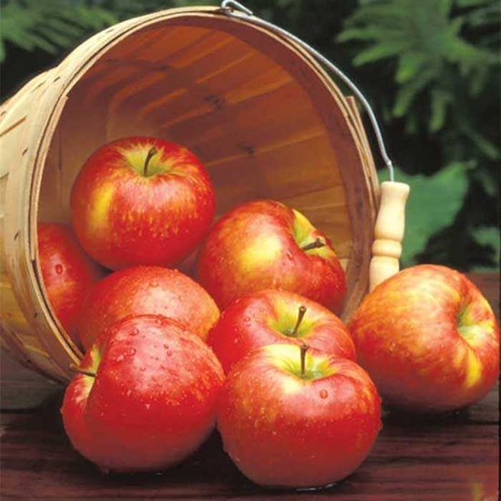 Apple & Honeycrisp - Fragrance Oil