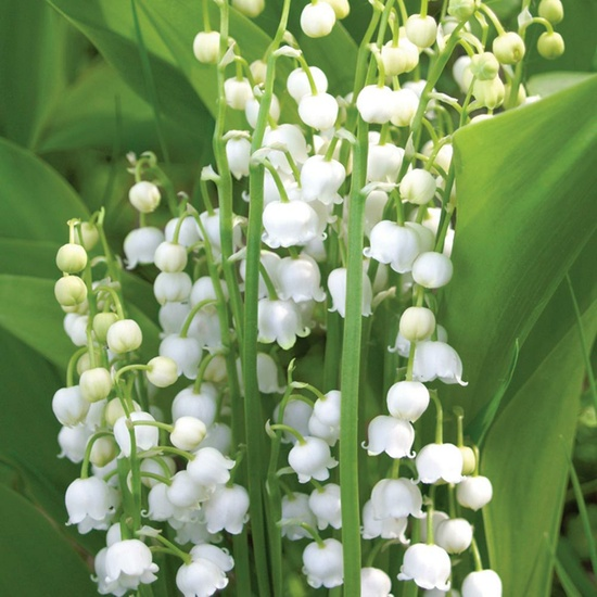 Lily of the Valley - Soy Wax Melts